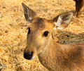 Portrait of a young deer. Royalty Free Stock Photos
