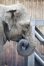 Portrait of a young elephant while eating in Zoo Ostrava. Royalty Free Stock Photo
