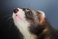 Portrait of young ferret close up two months old kit Stock Photography