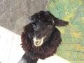 Portrait of a young funny alpaca