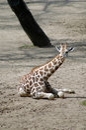 Portrait of young giraffe Stock Photos