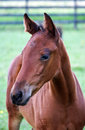 Portrait of a young horse foal in the field Royalty Free Stock Photography