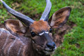 Portrait of a young male kudu antelope Royalty Free Stock Photo