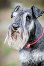 Portrait of a young miniature schnauzer on lawn Royalty Free Stock Photo