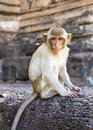 Portrait of young rhesus macaque monkey Royalty Free Stock Photos