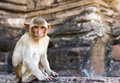 Portrait of young rhesus macaque monkey Stock Photos