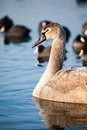 Portrait of a young swan (Cygnus olor), Poland,Pogoria lake. Winter time. Royalty Free Stock Photo