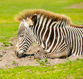 Portrait young zebra lying ground Royalty Free Stock Image