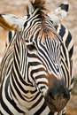 Portrait of zebra Stock Image