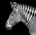 Portrait of zebra on background Royalty Free Stock Photography