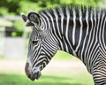 Portrait of zebra on green background Royalty Free Stock Photo