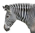 Portrait of zebra on green isolated on white background Royalty Free Stock Photography