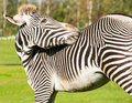 Portrait zebra scratching its back Royalty Free Stock Photography