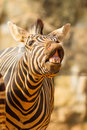 The portrait of Zebra smile and laughing Stock Images