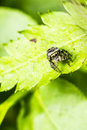 Portrait of a zebra spider the salticus scenicus is common jumping like other jumping spiders it does not build web it uses its Stock Images