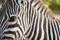 Portrait of a zebra very close Royalty Free Stock Images