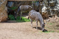 Portrait of zebras in the zoo Royalty Free Stock Photo