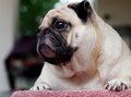 Portraits of a white pug cute fat lovely dog laying on table covered with red micro fibre cloths making funny face with home Royalty Free Stock Image