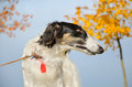 Portrate of russian borzoi standing on a blue sky and yellow leaves background Royalty Free Stock Photography