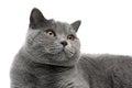 Portret van een grijze kat met gele ogen op een witte achtergrond Royalty-vrije Stock Foto