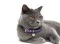 Portret van een grijze kat met gele ogen witte achtergrond Stock Foto