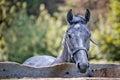 Portret van grijs paard Stock Foto