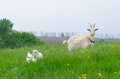 A portret of white goat in the meadow Stock Photography