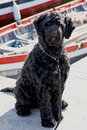 Portuguese Water Dog by Boats Stock Images