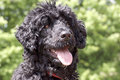 Portuguese water dog close up head shot a happy young male with a wavy coat and bright eyes Stock Photo