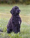 Portuguese water dog sitting in grass Royalty Free Stock Image