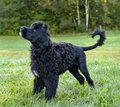Portuguese water dog standing in grass Stock Image