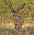 Poser Deer