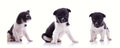 3 poses of cute puppy Royalty Free Stock Photo