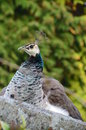 Poses a peahen for the camera Stock Image