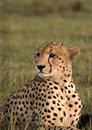 Posing cheetah Royalty Free Stock Photo
