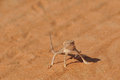 Posing Desert Lizard Royalty Free Stock Photo
