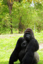 Posing Silverback Gorilla Royalty Free Stock Photo