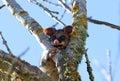 Possum Royalty Free Stock Photo