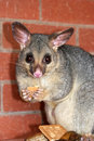 Possum eating Royalty Free Stock Image