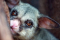 Possum extreme closeup headshot portrait of nocturnal commun brushtail in a tree Royalty Free Stock Photos