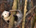 Possum in tree white faced holding on to a Stock Image