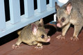 Possums nocturnal commun brushtail on a home deck australia Stock Photo