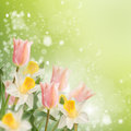 Postcard with fresh flowers daffodils and tulips and empty pla place for your text abstract background for design spring Royalty Free Stock Photos