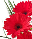Postcard from gerberas on a white background Stock Photo