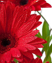 Postcard from gerberas on a white background Royalty Free Stock Images