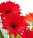 Postcard from gerberas on a white background Royalty Free Stock Photo