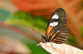 Picture : Postman Butterfly cavalier