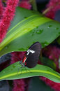 Postmen butterfly on red hot cat's tail plant sitting with colors of black reddish orange and white sitting the leaf of a cat Royalty Free Stock Photos