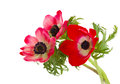 Posy of anemone flowers red isolated on white background Royalty Free Stock Images