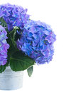 Posy of blue hortensia flowers close up in metal pot isolated on white background Stock Image